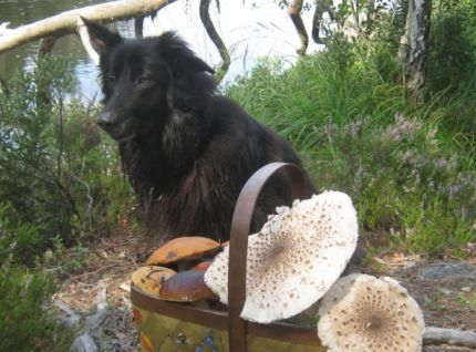 Hund letar svamp