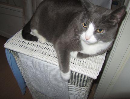 katt på tvättkorg