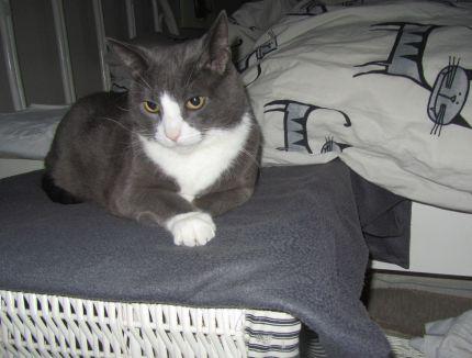 Vacker gråvit katt som ligger på tvättkorg