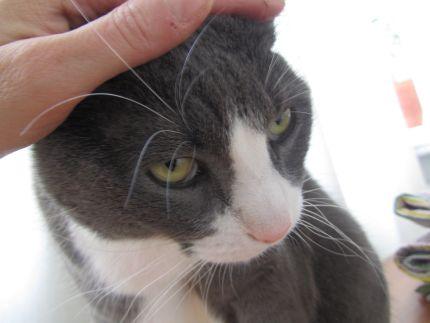 Katt blir klappad på huvudet