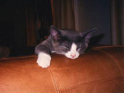 Katten Frasse som söt liten kattunge