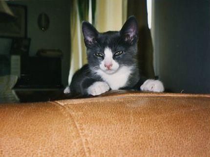 Söt gråvit kattunge ligger på soffa