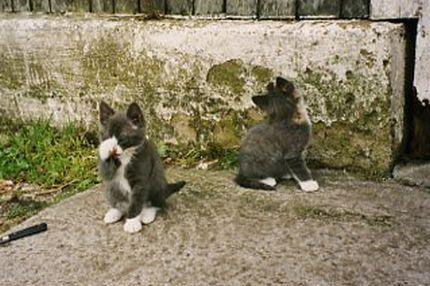 Söt gråvit kattunge som tvättar sig