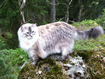 Stilig ragdoll-katt