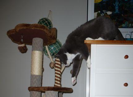 Katten Frasse har roligt i sitt klösträd