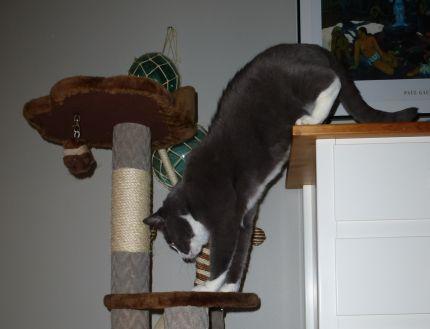 Katten Frasse hoppar i sin klösmöbel