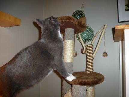 Katt leker i sitt klösträd