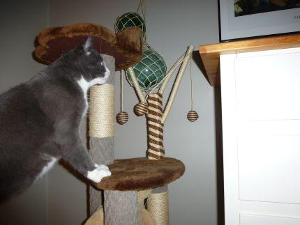 Katten Frasse har kul i sitt klösträd