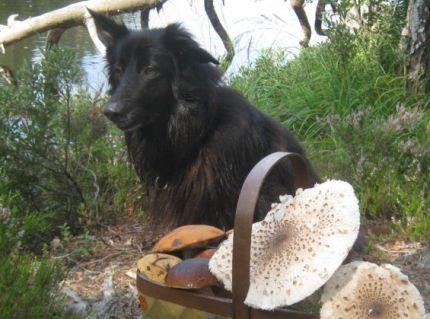 Sigge svamp hund med svampkorg