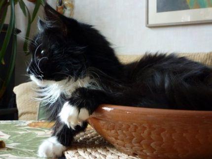 Liten söt svart vit katt ligger i korg