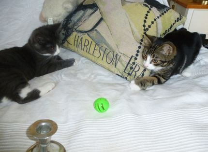 Katterna-Tasse-Simba-boll