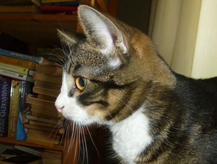 Tigrerad kattunge i profil