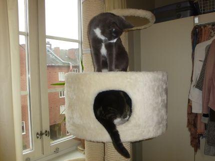 Katter busar i hus till klösträd