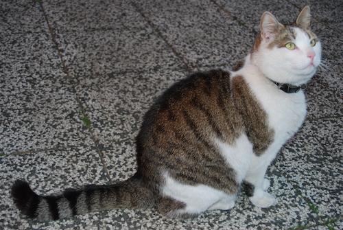 Vit tigrerad katt
