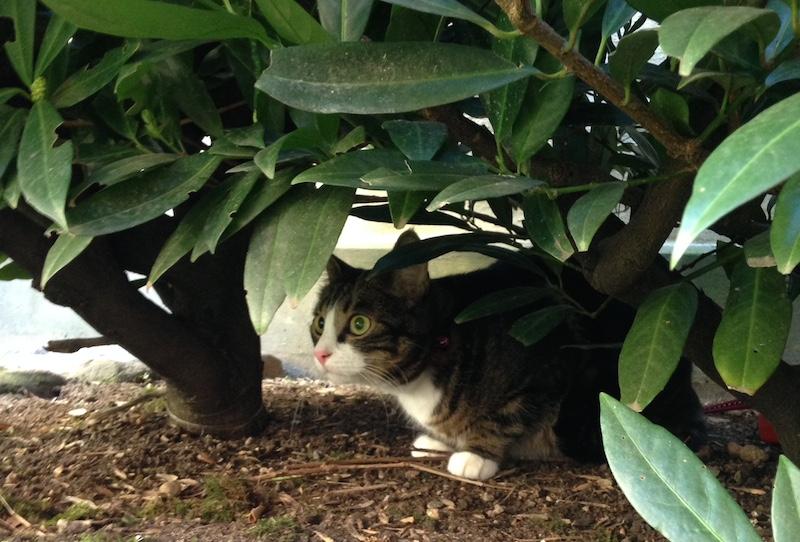 Katt sitter och spanar i buske