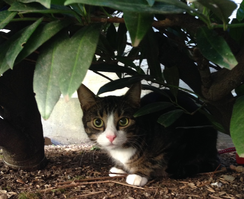 Katt gömmer sig i buske