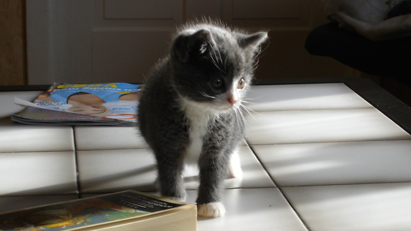 Söt grå vit kattunge