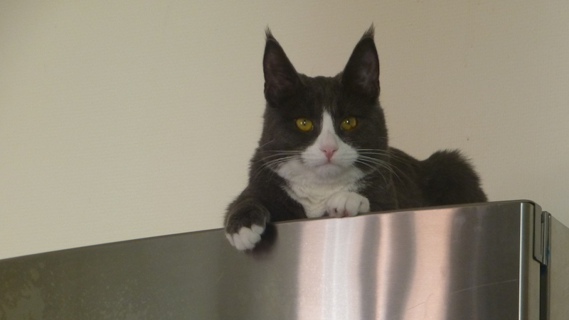 Katt ligger på kylskåpet.