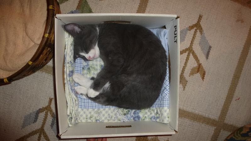Kattunge ligger och sover i låda
