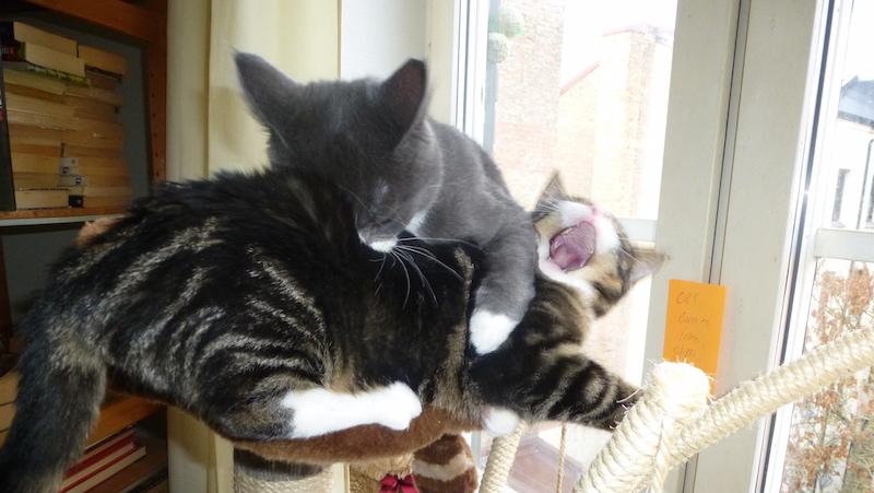 Katter busar och slåss i klösträd