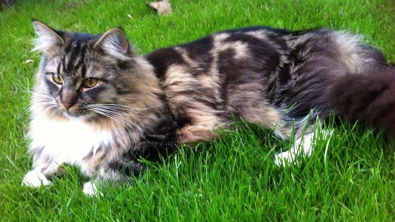 Vacker ragdoll-maine-coon-katt som ligger i gräset