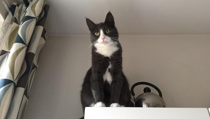 Katt sitter uppe på ett köksskåp
