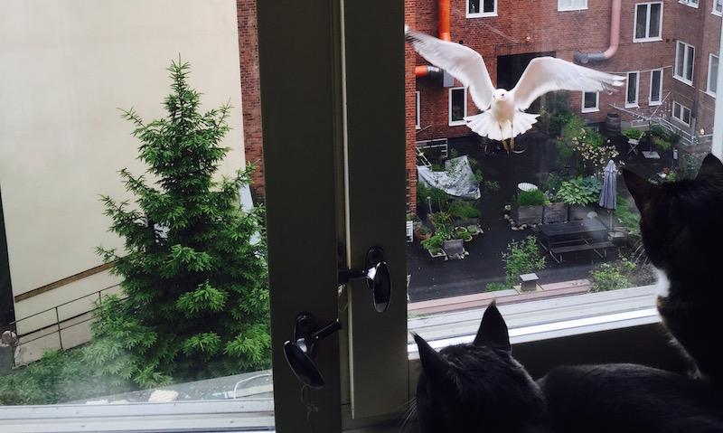 Katter spanar på fåglar från fönstret