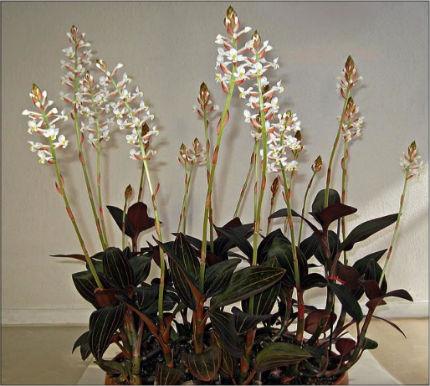 vita orkideer
