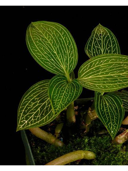orkidéblad