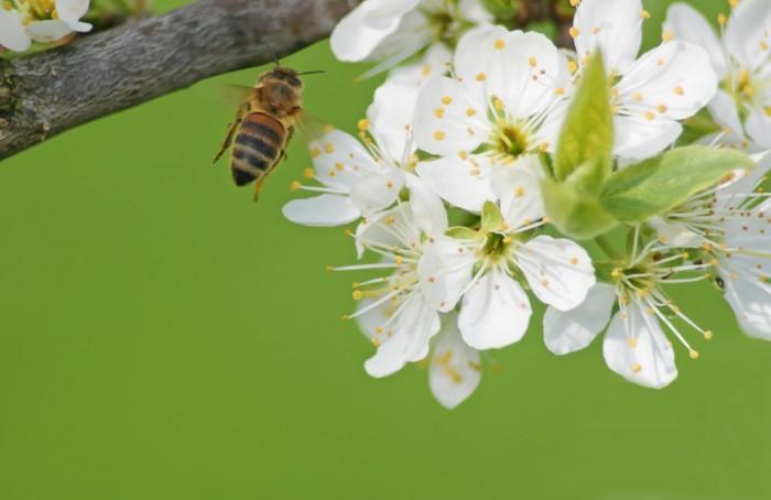 Ett flitigt bi går in för landning mitt i fruktblomningen.